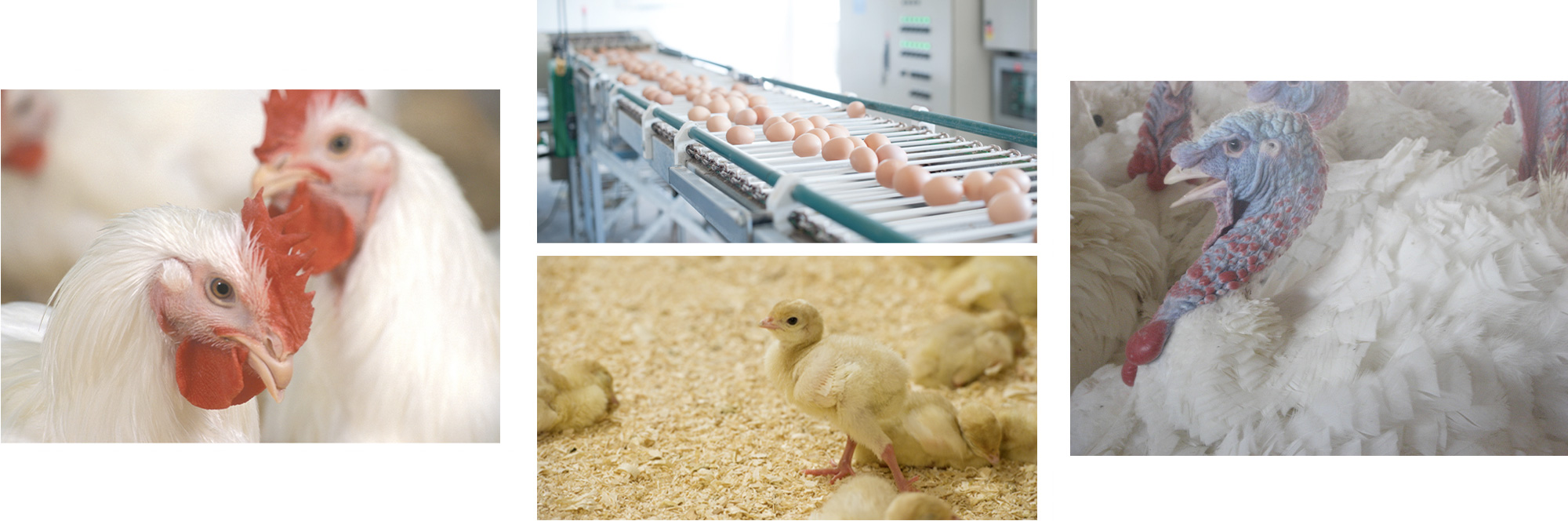 Poultry Industry Council Collage