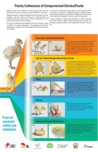 Timely Euthanasia of Compromised Chicks/Poults