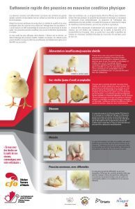 Timely Euthanasia of Compromised Chicks